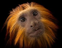 «photo by @joelsartore   Lions, tigers and monkeys, oh my! Don't mistake this primate for the king of the jungle, despite their similar appearance. Check…»
