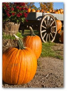 Growing Pumpkins, Planting Pumpkins, How to Grow Pumpkins