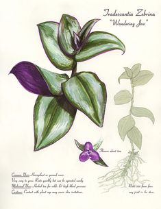 Wandering Jew - Tradescantia Zebrina art print by Brandy Woods. Our art prints are produced on acid-free papers using archival inks to guarantee that they last a lifetime without fading or loss of color. All art prints include a 1 Botanical Drawings, Botanical Illustration, Botanical Prints, Indoor Garden, Garden Plants, Indoor Plants, Plante Crassula, Types Of Houseplants, Wandering Jew