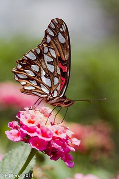 Mexican Silverspot Butterfly