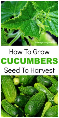How To Grow Your Own Cucumbers From Seeds Humans have been growing cucumbers from seeds for literally thousands of years. Their taste is a favorite for salads, on the side and even pickled they are one of the world's favorite snacks. If you'd like to plant your very own cucumbers, then follow these tips and...