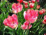 Мобильный LiveInternet Посадка тюльпанов осенью. | Ольга_бывшая_к- - Дневник Ольга_бывшая_к- |