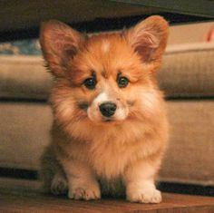 Maxine is the floofiest little baby corgi Cute Puppies Littlw Angel Smile Cute Fluffy Dogs, Fluffy Corgi, Cute Husky Puppies, Cute Corgi, Husky Puppy, Baby Corgi, Corgi Dog, Cute Dog Pictures, Cute Animal Photos