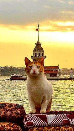 Cats For Adoption Funny Cats And Dogs, Cats And Kittens, I Love Cats, Cool Cats, Istanbul, Animals And Pets, Cute Animals, Cute Puppy Videos, Cat Facts