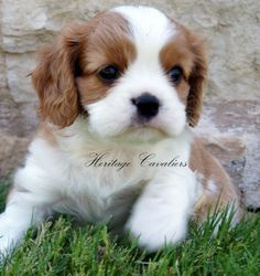 Cavapoo Puppy. I want so badly for me and Daniel. We miss Jakie too much.