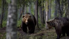brown bears in Kuhmo, Fi