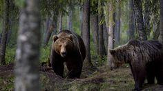 brown bear in Kuhmo