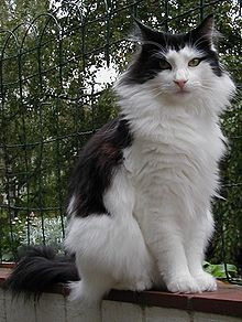 The Norwegian Forest Cat is strongly built and larger than an average cat. The breed has a long, sturdy body, long legs and a bushy tail.