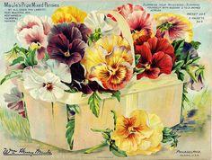 Pansies - Vintage Seed Packet