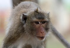 Crab-Eating Macaque | Crab-eating Macaque
