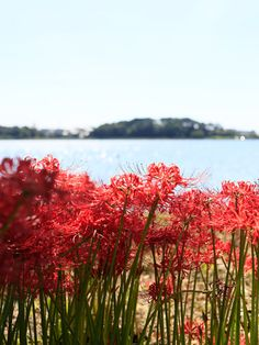 Lake Sanaru, Hamamatsu-city, 曼珠沙華 Red spider lily