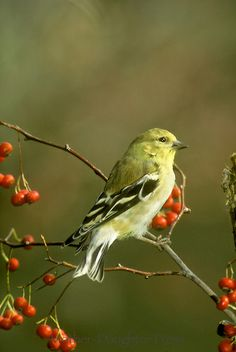 American goldfinch, Spinus tristis, male on branch of American holly berries in winter. Holly Berries, Red Berries, Goldfinch, Backyard Birds, T Rex, Bird Feathers, How Beautiful, Missouri, Around The Worlds