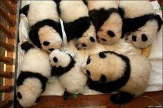 Ninhada de ursos panda