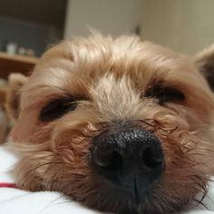 おはよー☀今日ものんびりいこう☺  Good morning☀ Let's go leisurely today☺  #yorkshireterrier #yorkielove #dog #doglife #dogstagram #nose #angel #goodmorning  #ヨークシャテリア #わんこ #わんことの生活 #犬 #愛犬 #元保護犬 #シニア犬 #ポテト #かわいい #息子  #おはヨーキー  #天使  #天使過ぎるかわいさ