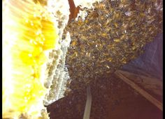 30,000 Bees Stuck In New Jersey Attic (PHOTOS) Bee removal expert Gary Schempp removed a 25-pound hive from the attic of a home in Cape May, N.J. The hive had 30,000 bees living in it.
