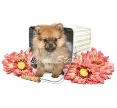 Pomeranian puppy sitting in a bucket with pink flowers around her, on a white background.