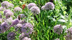 house flower garden 439875088607746163 - Chives are the pollinators friend and the best proof of this is this short video full of life Source by Petunias, Australian Garden, Garden Bulbs, Rare Flowers, Chelsea Flower Show, Annual Plants, Container Flowers, Fruit Garden, Plantar