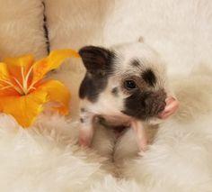 Mini & Micro Juliana Baby Pigs For Sale – Mini Pocket Pigs – Diana Word - Baby Animals Baby Pigs For Sale, Teacup Pigs For Sale, Mini Pigs For Sale, Cute Baby Pigs, Cute Piglets, Mini Pet Pigs, Baby Teacup Pigs, Pets For Sale, Pocket Pig