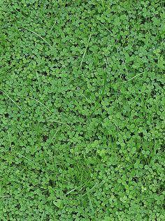 White Clover, Trifolium repens, by Darkone, wikipedia #White_Clover #Darkone #wikipedia