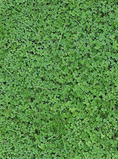 White Clover, Trifolium repens, by Darkone, wikipedia #White_Clover #Darkone #wikipedia