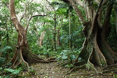 Monsoon jungle on Ishigakijima: Looking-glass Tree in the rainforest of Ishigaki Island, Okinawa, Japan  Ishigaki Island belongs to the Yaeyama Island group which boasts of paradisical beaches, untouched tropical rainforests, lush mangrove rivers and one of the world's largest coral reef systems.