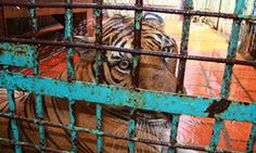 A tiger farm in southern Binh Duong province, Vietnam