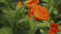Pro pěstování jasně žluté nebo oranžové letničky nepotřebujete žádné zvláštní znalosti a zkušenosti, jejím vysazením na zahrádce nebo na balkóně ale získáte těž Herb Garden, Herbs, Health, Plants, Health Care, Herbs Garden, Herb, Plant, Planets
