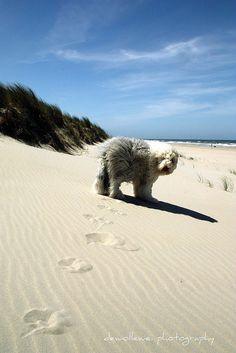 Beach - Old English Sheepdog.