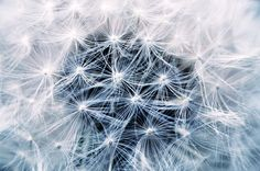 (PUBLIC DOMAIN IMAGE - free to use!) Dandelion, Seeds, Pointed Flower, Plant, Flower, Nature