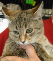 TINY  Tabby - Brown: An adoptable cat in Statesville, NC
