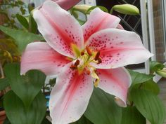star lily..