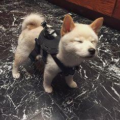 Red shiba inu pup