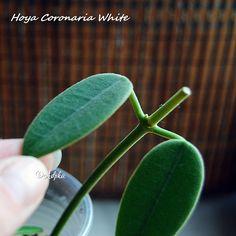 Hoya Coronaria White