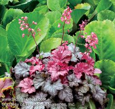 Mini heuchera (Coral Bells)! With adorable short, miniature flower spikes. 'Ginger Snap' displays white-veiled foliage with an array of colors ranging from rose to tan and brown.