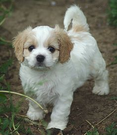 """I'm not into """"designer"""" dogs, but this Cavalier/Bichon mix is all kinds of adorable."""