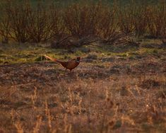 Common pheasant (male) in the fields Common Pheasant, Bird Watching, Birds, Photography, Painting, Animals, Instagram, Joy, Photograph