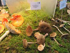 Roosa kärbseseen - Veeseire Dryad's Saddle, Surface Mining, Stuffed Mushrooms, Stuff Mushrooms