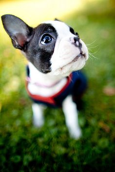 My husbands favorite dog, boston terrier. :)