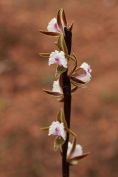 Fringed-Leak Orchid: Prasophyllum fimbria - Flickr - Photo Sharing!