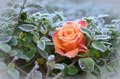 Rose, Frost, Winter, Winter Magic, Nature, Hoarfrost