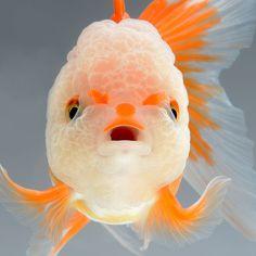 Ah yes, the majestic... goldfish. Photographer Visarute Angkatavanich #fish #poisson