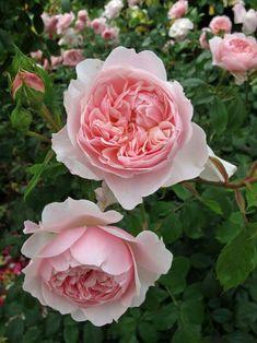 Englische Rose Wisley 2008 ®   Ausbreeze ® Austin 2008 7,5 L Co