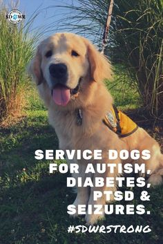 Service dogs aim to aid those that live with an invisible illness, including diabetes, autism, aspergers, and seizure disorder. With high-quality breeding and intensive training, SDWR service dogs are reliable companions in increasing safety and quality of life. Until there's a cure... there's a dog.