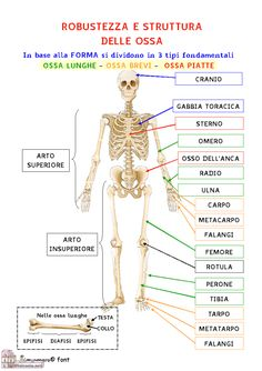 Il corpo umano – PAIDEIA 2.0 – Officina per la Didattica INCLUSIVA Science Experiments Kids, Science For Kids, Science Nature, How To Speak Italian, Human Body Activities, Italian Phrases, Yoga Anatomy, Matter Science, School Study Tips