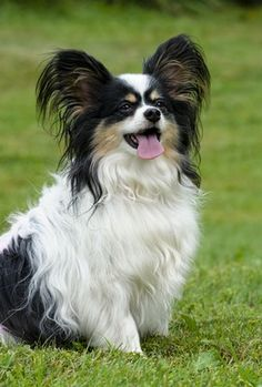 Papillon Health (Aubrey Animal Medical Center) I shall name her psyche Lap Dogs, Dogs And Puppies, Doggies, Papillon Dog, Papillion Puppies, Spotted Dog, Little Dogs, Dog Care, Cute Dogs
