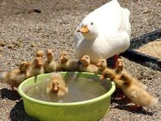 Bath time for little ducklings ...