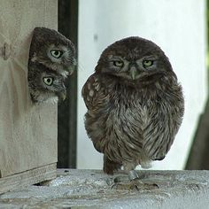 Little Owl. It got house for its children, day old chicken for food, it still have its freedom and even then it looks grumpy
