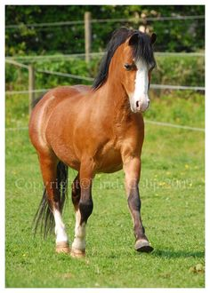 A Welsh pony, very pretty pony. Here he was strutting of to another horse to chase him away from his friend. The Welsh Stride Pony Breeds, Welsh Pony, Miniature Horses, Interesting Animals, Equine Photography, Donkeys, Zebras, Cob, Beautiful Horses