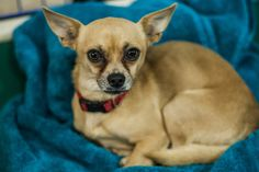 Avery, a 2-year old chihuahua, up for adoption at Best Friends Pet Adoption Center in Trolley Square on Thursday, May 17, 2012. (Chris Detrick  |  The Salt Lake Tribune)