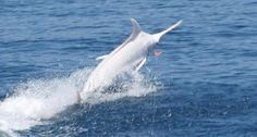 Rare albino blue marlin caught and released off Costa Rica.Anglers and crew fishing off Costa Rica on Tuesday were astonished to discover that a large marlin they hooked and landed was completely white. Marlin Azul, Blue Marlin, Beautiful Creatures, Animals Beautiful, Rare Albino Animals, Marlin Fishing, Rare Fish, Fishing Photos, Fishing Adventure